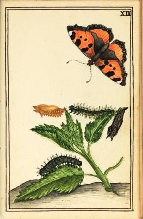 Nässelfjäril med sin värdväxt målad av Charles De Geer på 1750-talet. Uppsala universitetsbibliotek.