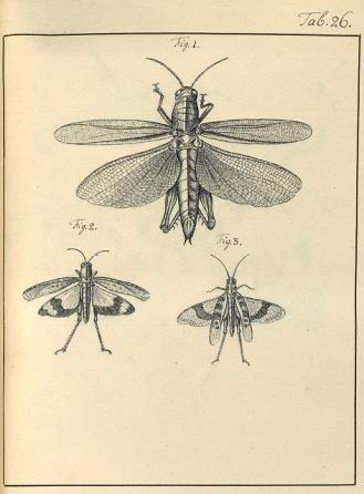 I tusch ritade insekter av Charles De Geer; förlagor till graverade illustrationer i del 3 av Mémoires. Uppsala universitetsbibliotek.